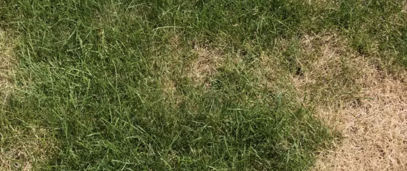 UAE Turf Care Brown Patch Disease