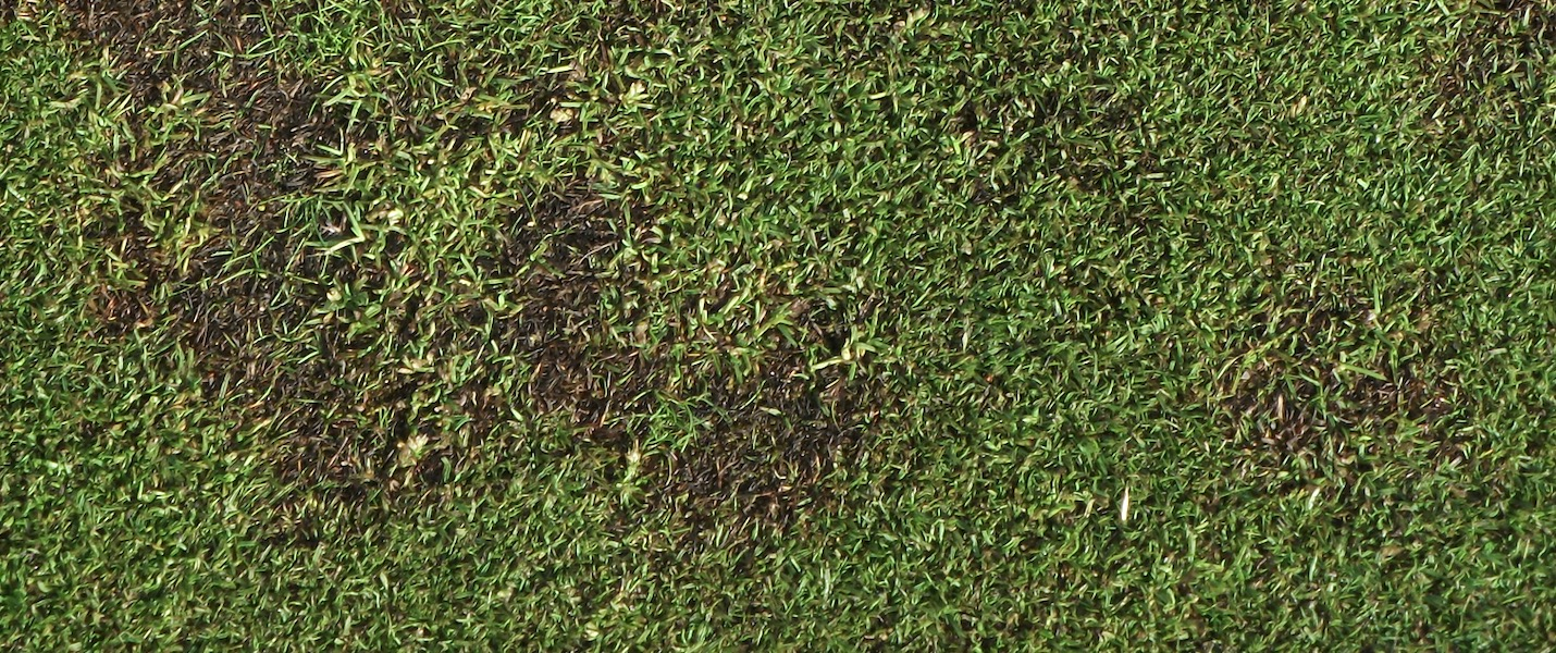 Treating take all patch - turf diseases in the UAE