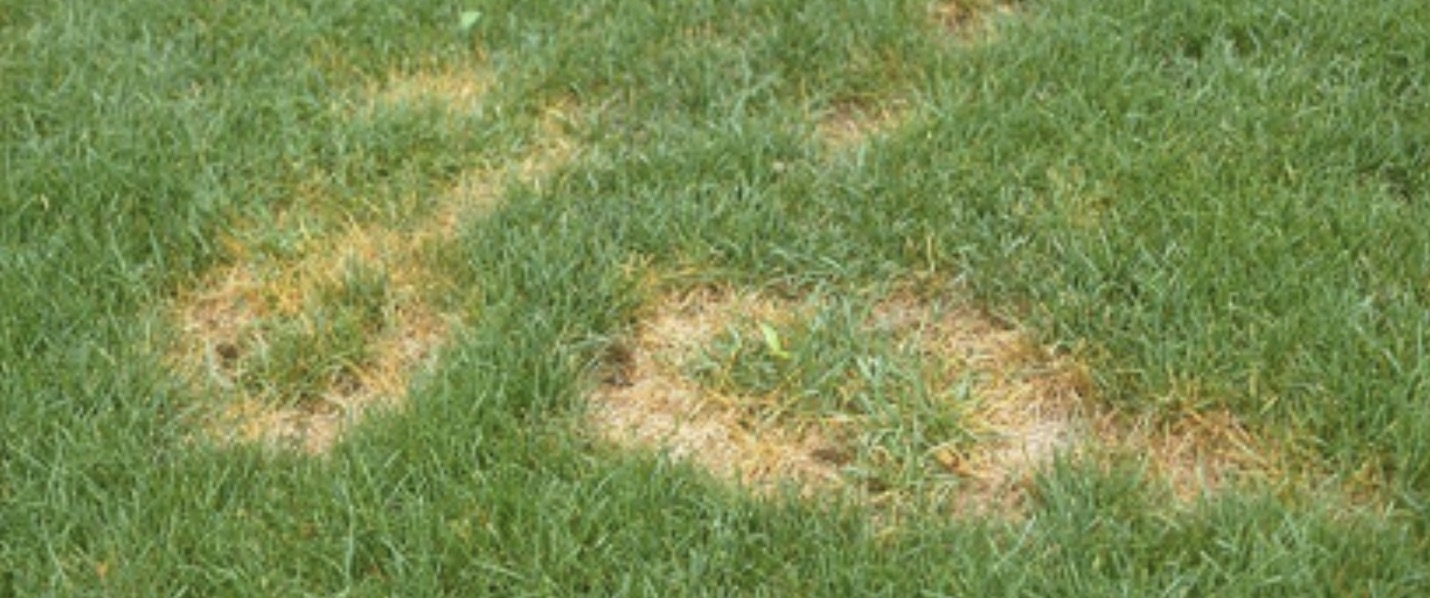 Advice on the treatment of summer patch in golf course turf UAE